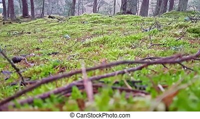 Green moss in the forest on background of Dancing forest in National park Curonian spit. Reserved nature of a warm winter at Curonian spit in Kaliningrad, Russia. Curved conifers in the forest