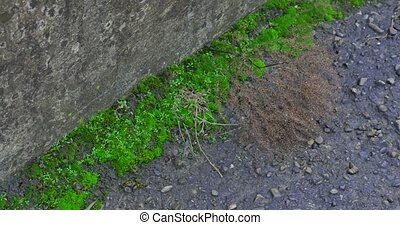 green moss growing on cobble stones.