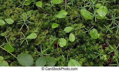 Green moss macro close up detail in the forest.