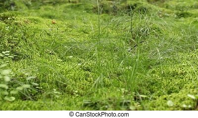 Green moss of sphagnum covers a marsh