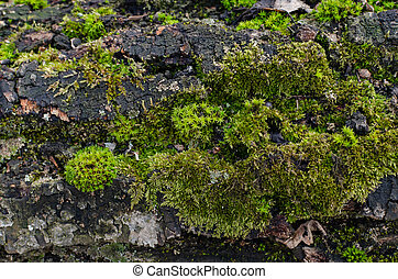 green moss on the bark of an old tree in the forest on a sunny day