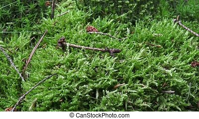 Green moss on the ground. Detail of moos in a forest - close...