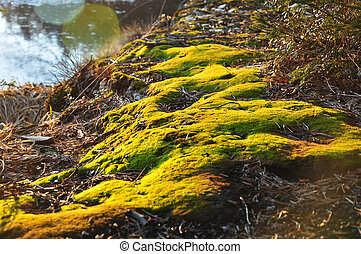 Green moss, shining in the rays of sunlight