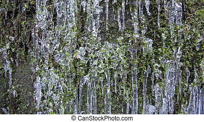 Green Moss with Frozen Icicles - Wall of Green Moss with...