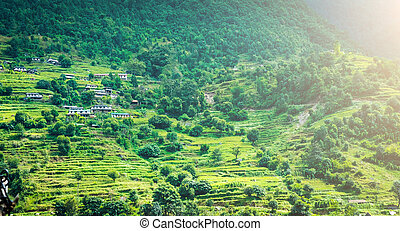 green mountain field of rice in nepal