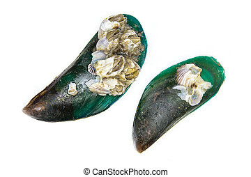 Green mussel - Close-up of green-lipped mussels isolate on ...