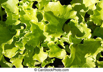 green natural background with young lettuce in the garden