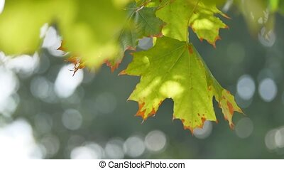 Green nature background with maple leaves. Green maple leaves sunlight background