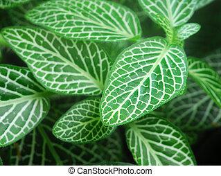 Green Nerve Plant Leaves