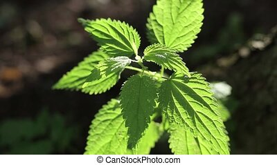 Green Nettle in bright sunlight it reels in the wind in the...