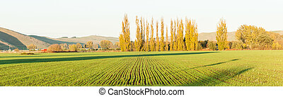 Green new shoots of crop in long rows with morning sun's ...