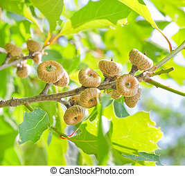 green oak acorns in summer time