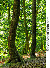 Green oak forest in spring time