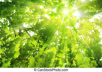 Green oak leaves, bright sun