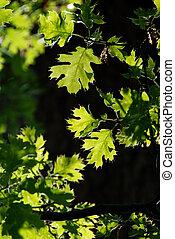Green Oak Leaves in Springtime - High key, backlit...