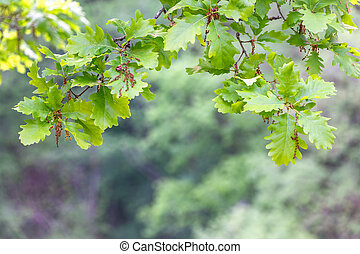 Green oak leaves on a natural blurred background
