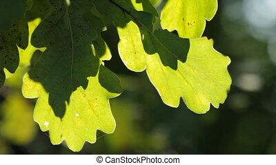 green oak leaves - Sun light in green oak leaves