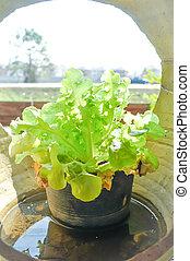 lettuce in the flowerpot