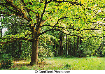 Green Oak Tree in Summer Park Forest. Spring Nature Landscape