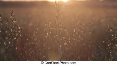 Green oat field at sunset