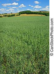 Green Oat Field - Oat field extending to hills and sky