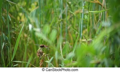 Green oat field.Dragonfly sitting on a branch. Hot summer...