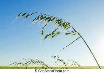 green oat in field on blue sky background
