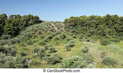 Green olive fruit in orchard - View on the canopy of green...
