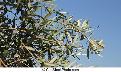 Green olive fruit on seashore - View on the canopy of green...