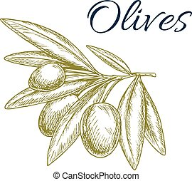 Green olive fruits isolated sketch for food design