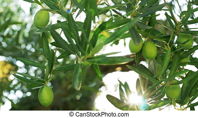 Green olive tree against sun light - Close-up shot of bright...
