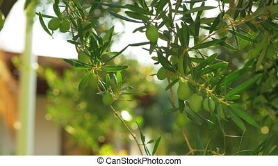 Green olive tree in house garden on sunny day - Olive tree...