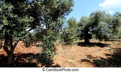 Green olive tree plantation - Camera moving round in green...