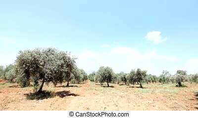 Green olive tree plantation - Wide view of green olive...