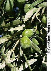 Green olive tree with macro closeup fruits