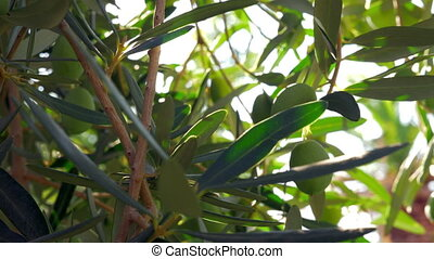 Green olive twig in Mediterranean garden - Close-up shot of...