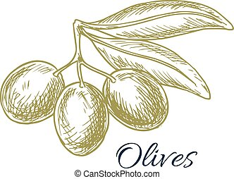 Green olives branch and olive oil vector sketch