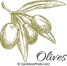 Green olives branch of olive bunch vector sketch - Vector...
