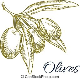 Green olives branch of olive bunch vector sketch - Vector...