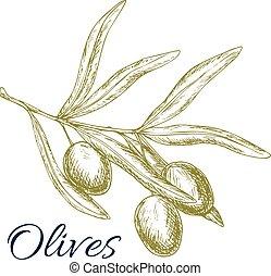 Green olives branch vector sketch