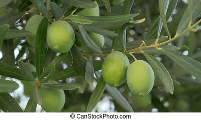 Green olives in Mediterranean garden - Garden in the...
