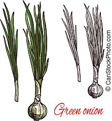 Green onion, leek or scalion vegetable sketch - Green onion...