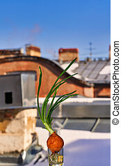 Green onions are grown in the winter at home on a windowsill