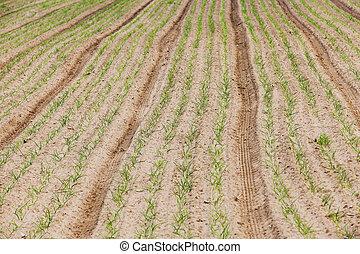 green onions in the field