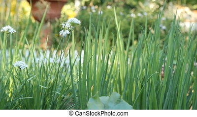 Green onions on a bed of garden