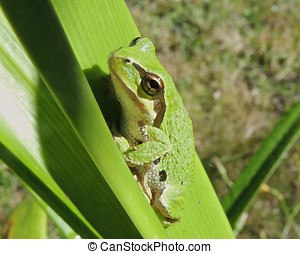 Green Pacific Tree frog
