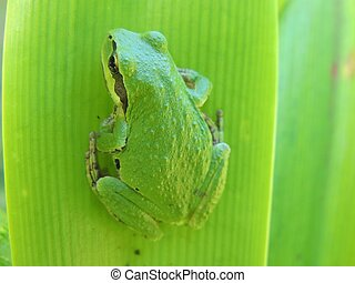 Green Pacific Tree Frog on a green leaf