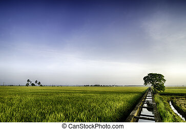 green paddy field background with single tree in the middle. blue sky and water canal