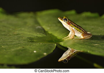 Green Paddy Frog on leaf with mirror in the water