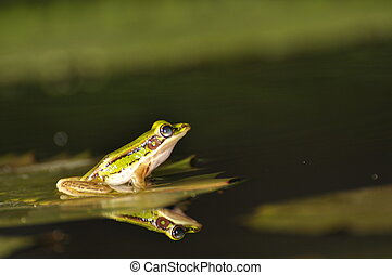 Green Paddy Frog reflected in the water - Green Paddy Frogs...
